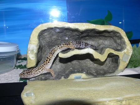 Gizmo actually uses his Exo Terra Reptile Den!