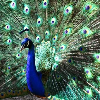 Peacock True Colors Thumbnail
